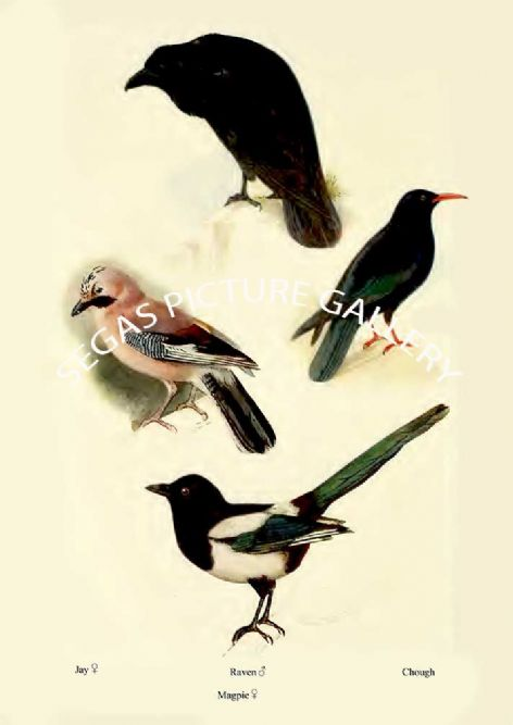 Fine art print of the Jay, Raven, Magpie & Chough by William Foster (1922)